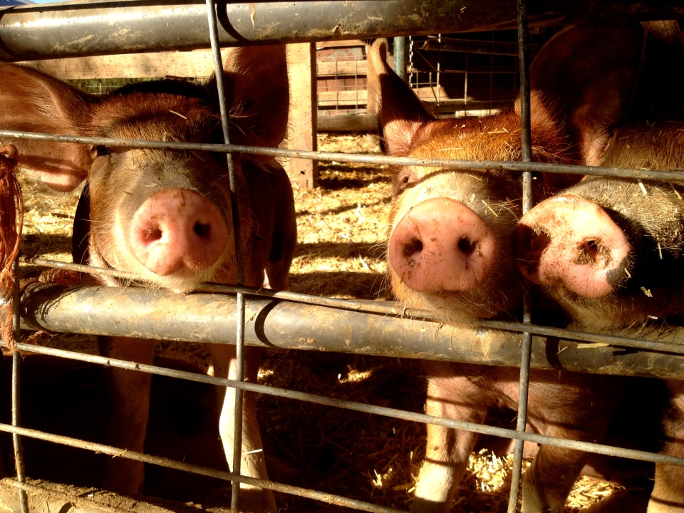Piglets from Full Belly Farm's Harvest Festival in Guinda, CA, where members from Cooking Up Community volunteered.